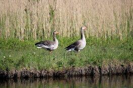 Provincie wijzigt ganzenbeleid en vergoedt voortaan minder aan landbouwschade